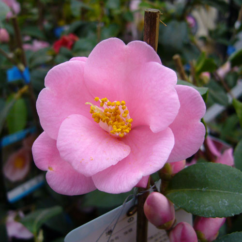椿(つばき)の販売店【花育通販】港の華の苗を販売。