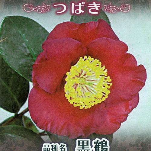 椿(つばき)の販売店【花育通販】黒鶴の苗を販売