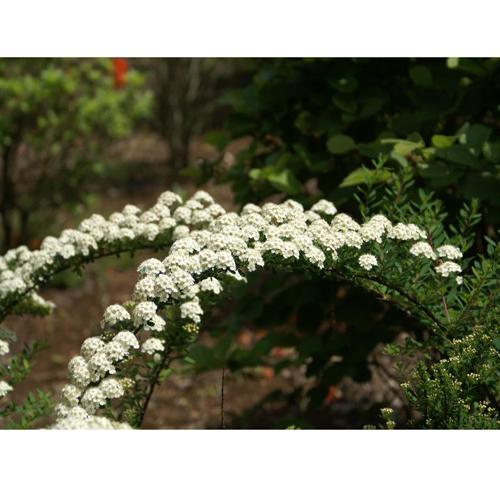 コデマリ「スノーマウンド」の苗木を販売【花育通販】
