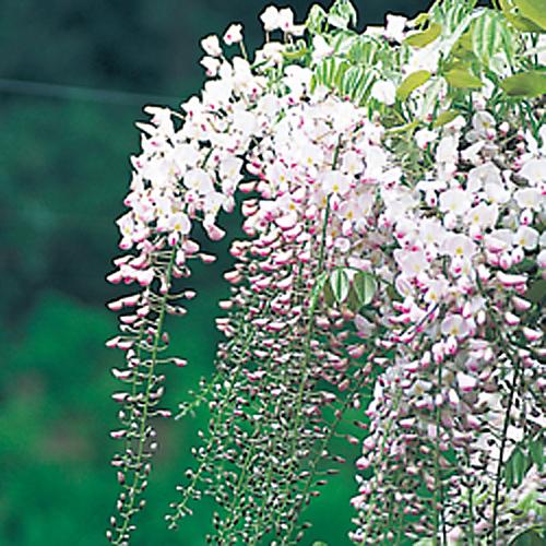 フジ「口紅藤」の苗木を販売【花育通販】