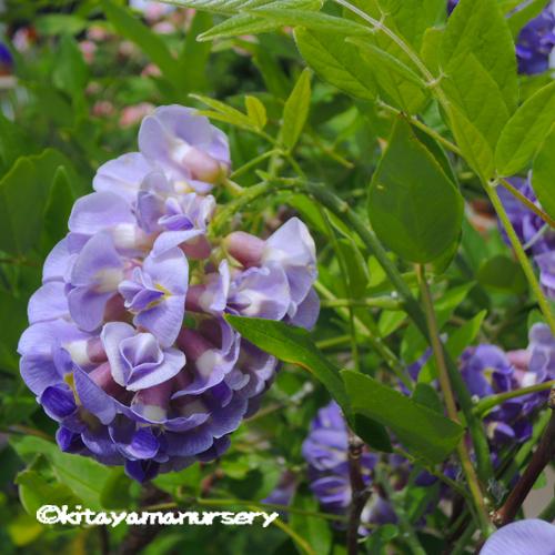 2季咲きアメリカフジ(藤)「アメジストフォール」の苗木を販売【花育通販】