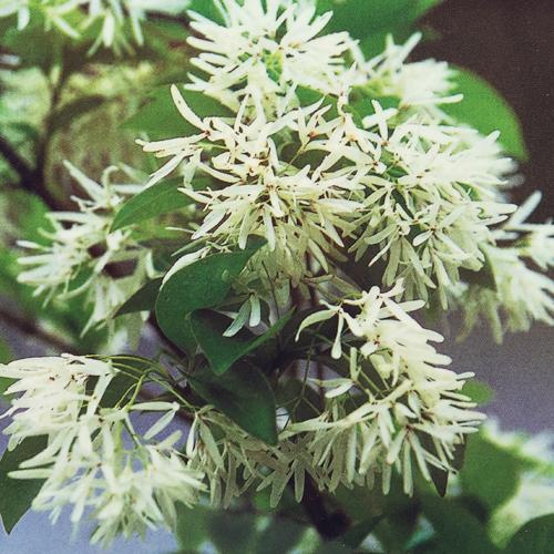 ヒトツバタゴ(ナンジャモンジャ)の苗木3.5号ポット植え