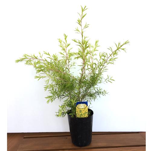 メラレウカ・レボリューションゴールドの苗木を販売【花育通販】