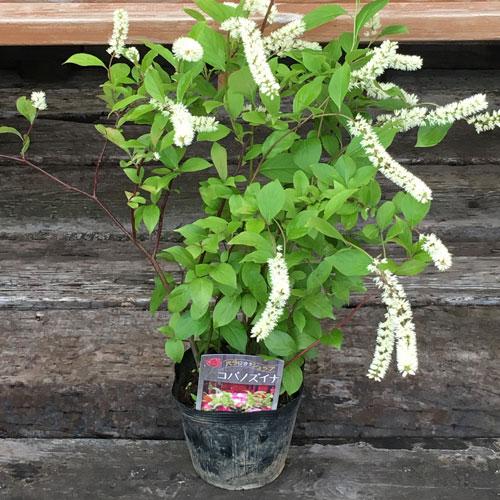 お茶花・花木の販売店「花育通販」コバノズイナを販売