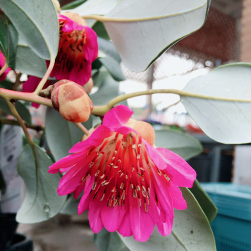 【花育通販】ロドレイア・レッドファンネル苗木を販売