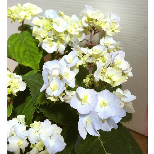山紫陽花(ヤマアジサイ)「ヤエアマチャ(八重甘茶)」の苗木