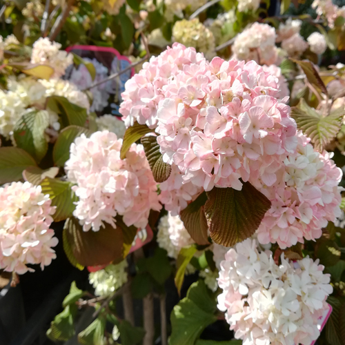 ピンオオデマリの苗木を販売【花育通販】
