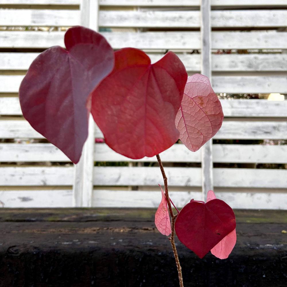 マルバノキ(ベニマンサク)の苗木