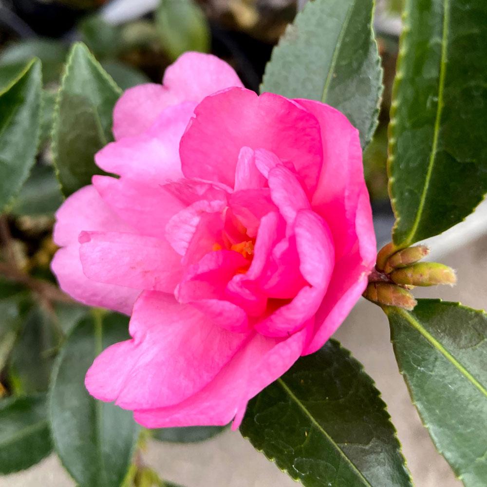 山茶花(サザンカ)苗木 発心桜(ホッシンザクラ)