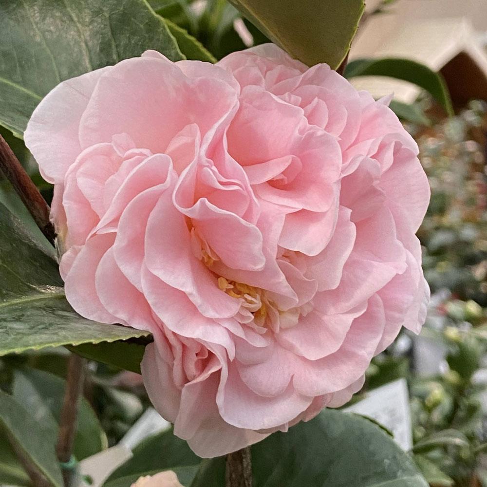 椿(ツバキ)の販売店【花育通販】デビュタントを販売