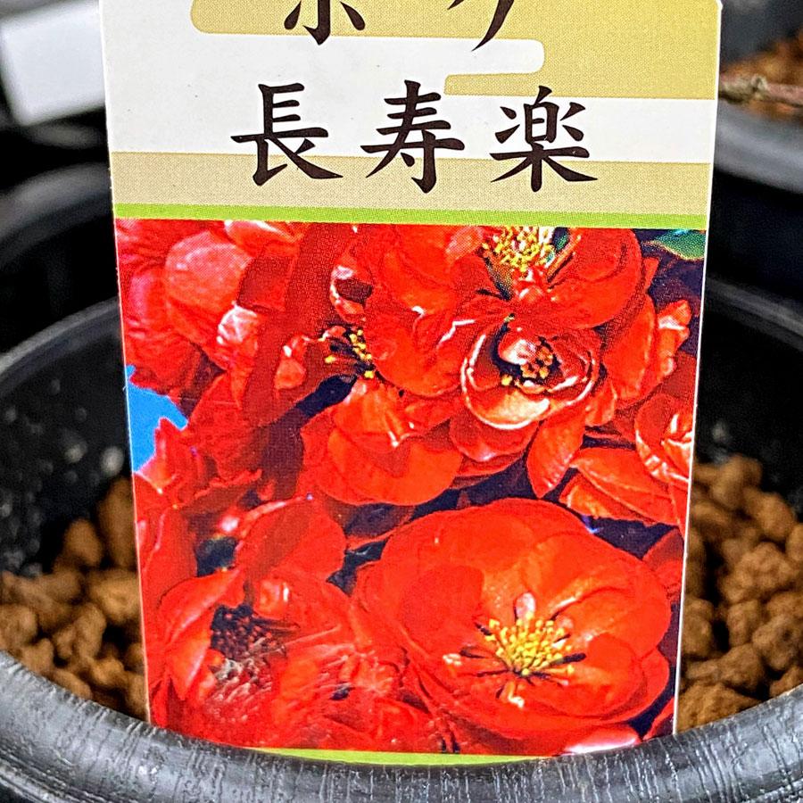 木瓜(ボケ)「長寿楽(ちょうじゅらく)」の苗木
