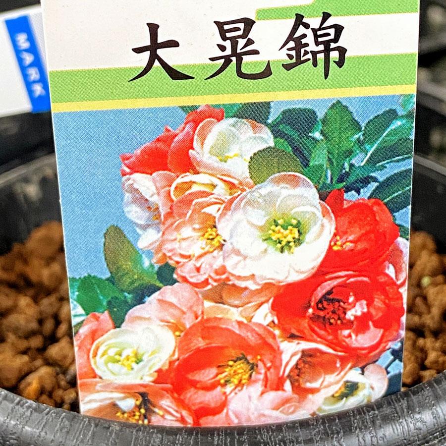 木瓜(ボケ)・大晃錦(たいこうにしき)の苗木
