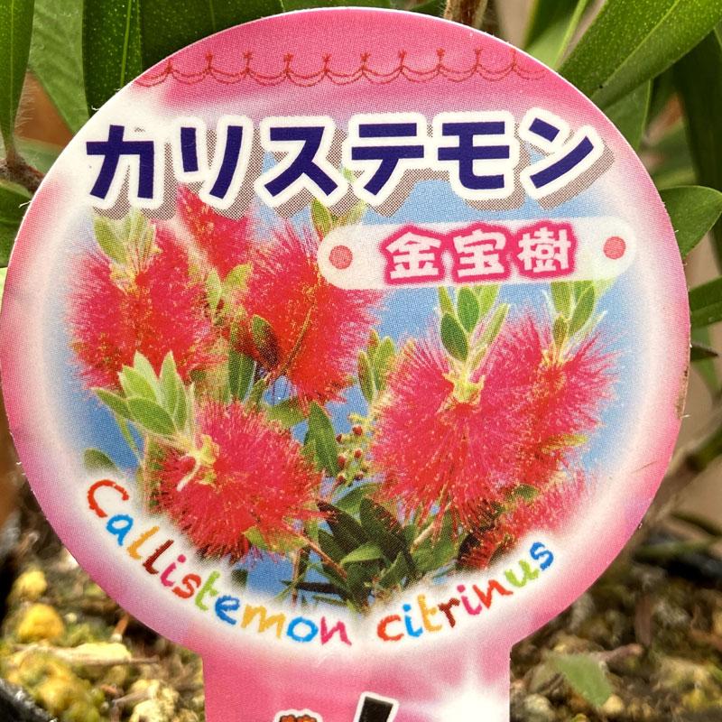 カリステモン(金宝樹/ブラシノキ)の苗