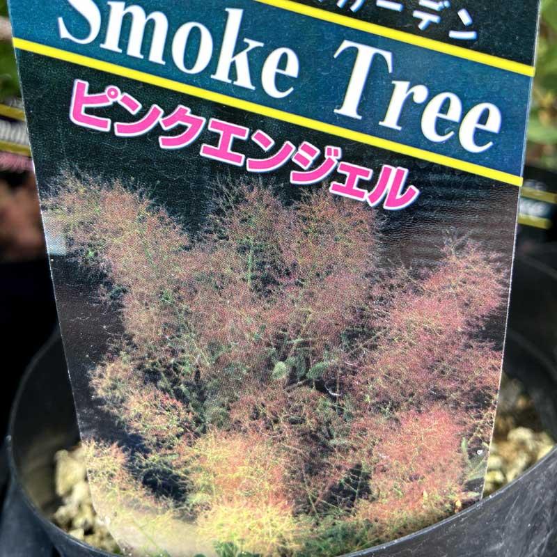 スモークツリー(けむりの木)の苗木・ピンクエンジェル