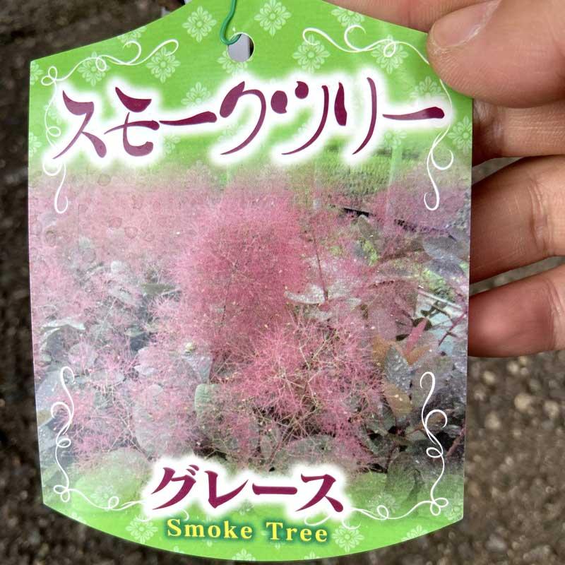 スモークツリー(けむりの木)の苗木・グレース