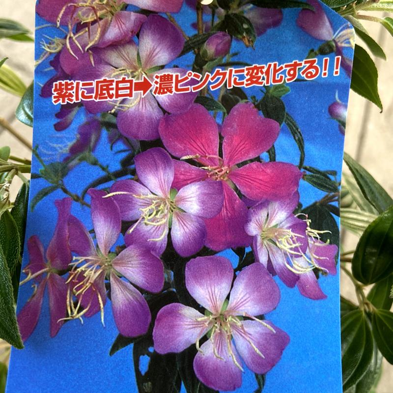 のぼたん(シコンノボタン)リトルエンジェル苗木(5号鉢植え)
