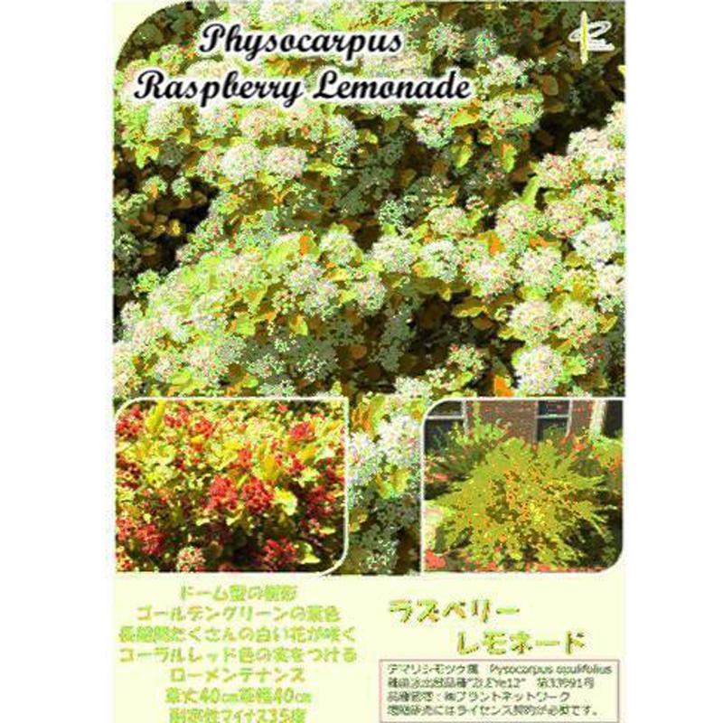 テマリシモツケ「ラズベリーレモネード」の苗木