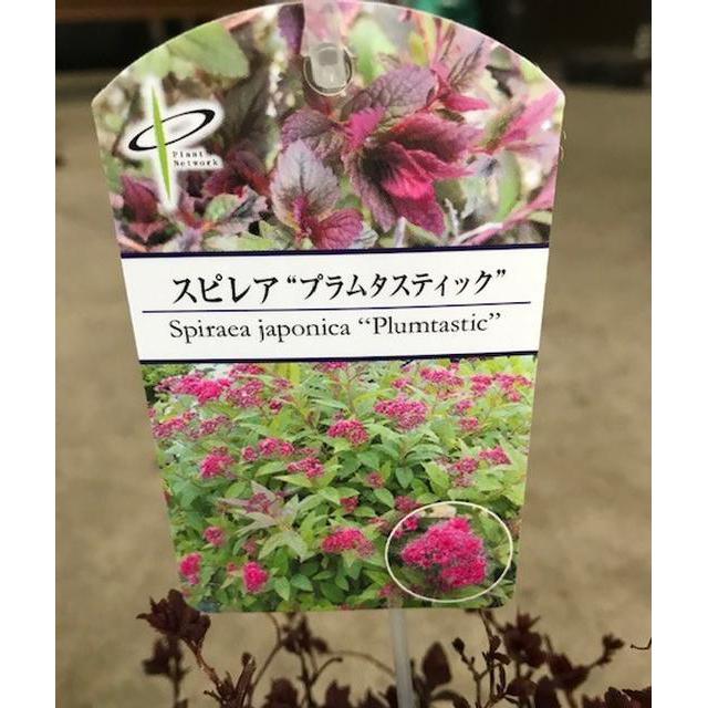 シモツケ「プラムタスティック」の苗木