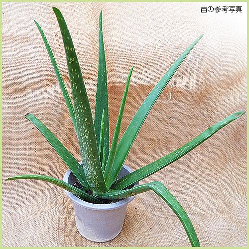 観葉植物(木立アロエ・アロエベラ)の苗を販売
