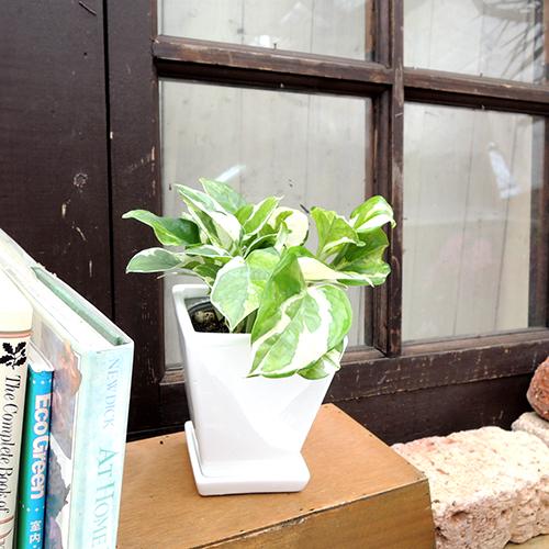 観葉植物の販売店【花育通販】ミニ観葉植物ポトス(エンジョイ)を販売しています