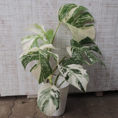 観葉植物の販売店【花育通販】斑入りモンステラの鉢植え