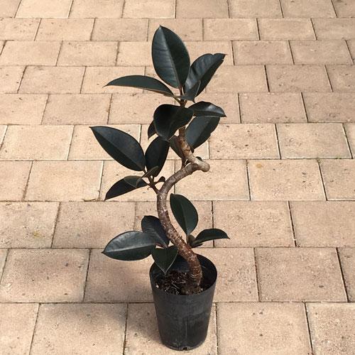 観葉植物の販売店【花育通販】ゴムの木・バーガンディーの苗を販売