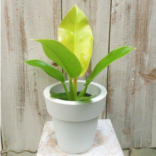 フィロデンドロン・インペリアルゴールド Philodendron 'Imperial gold'