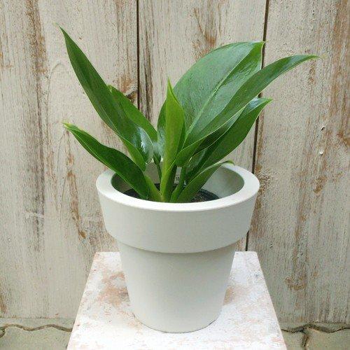 フィロデンドロン・インペリアルグリーン Philodendron 'Imperial green'