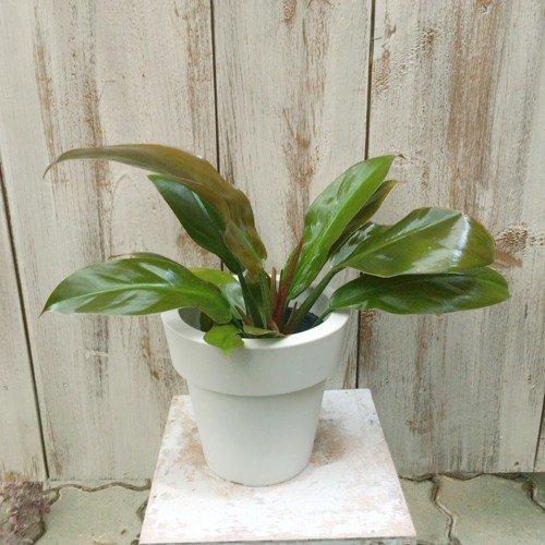 フィロデンドロン・インペリアルレッド Philodendron 'Imperial Red'