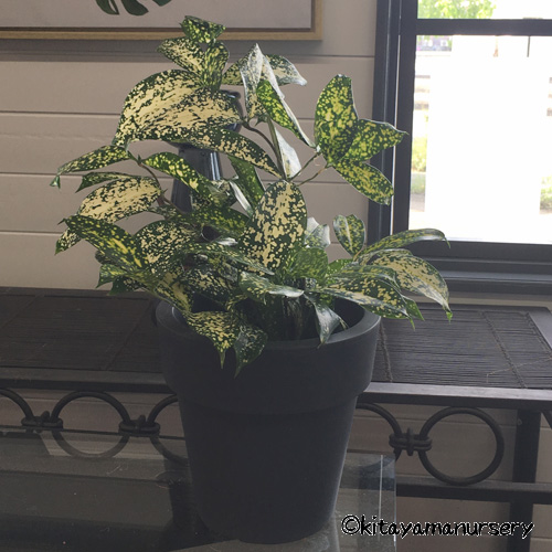 ドラセナ・スルクロサ(ゴッドセフィアナ) Dracaena surculosa