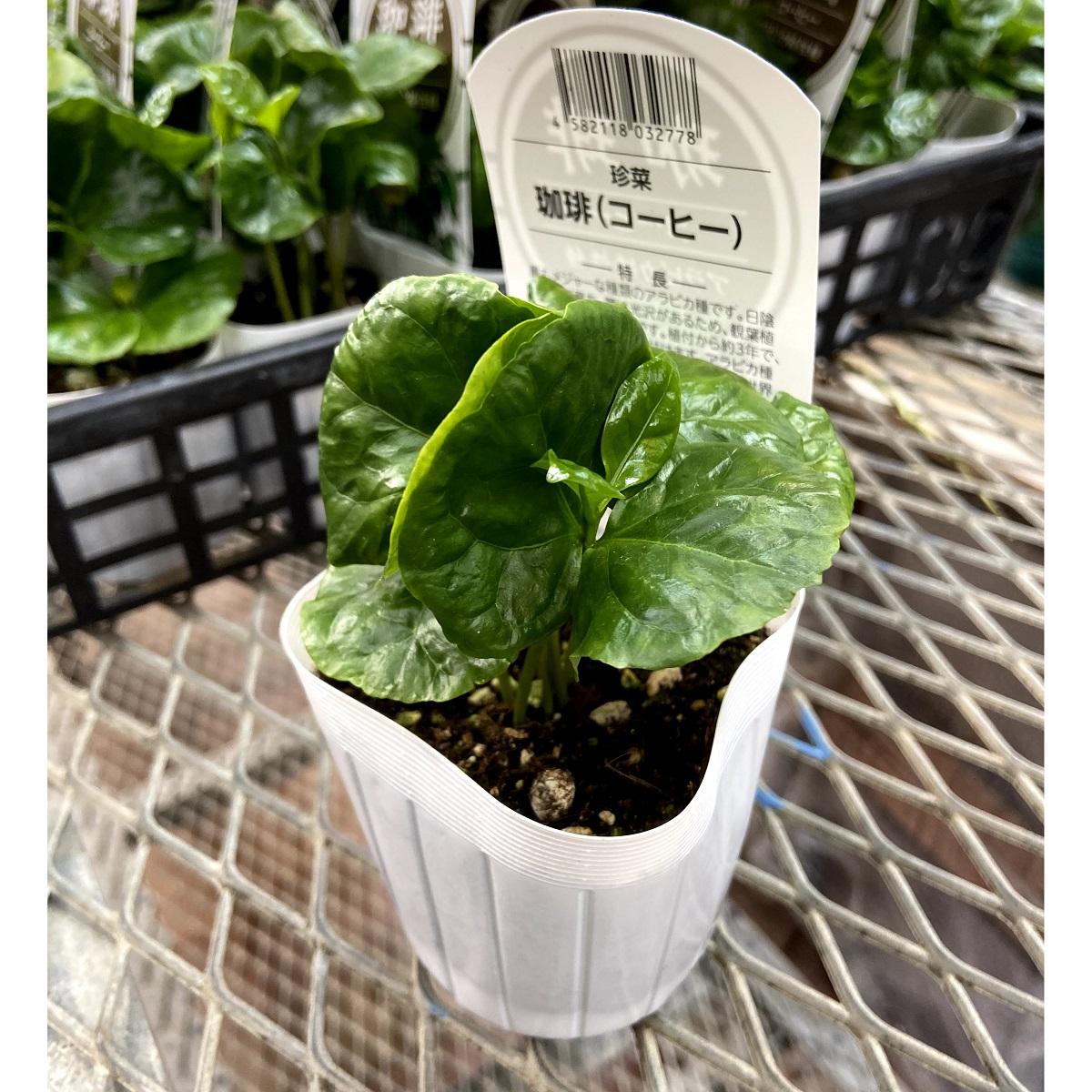 コーヒー(珈琲) アラビカ矮性種の苗