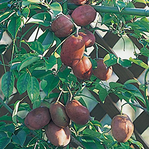 ムベ(むべ)の苗木を販売