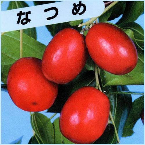 ナツメ(なつめ)の苗木を販売