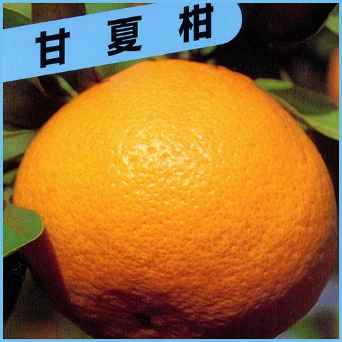 甘夏柑(アマナツ)の苗木を販売