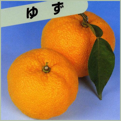 柚子(ゆず)の苗木を販売