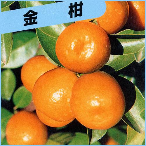 金柑(きんかん)苗木を販売