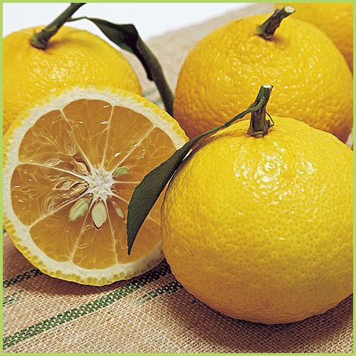 はるな(柑橘系)の苗木を販売