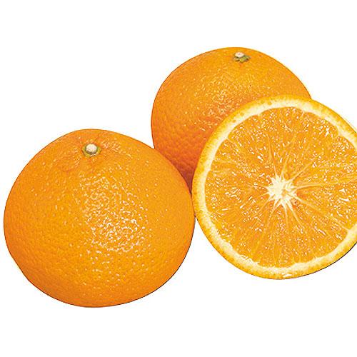 スイートスプリング(柑橘系)の苗木を販売