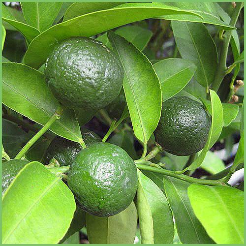 シークワーサー(柑橘系)の苗木を販売