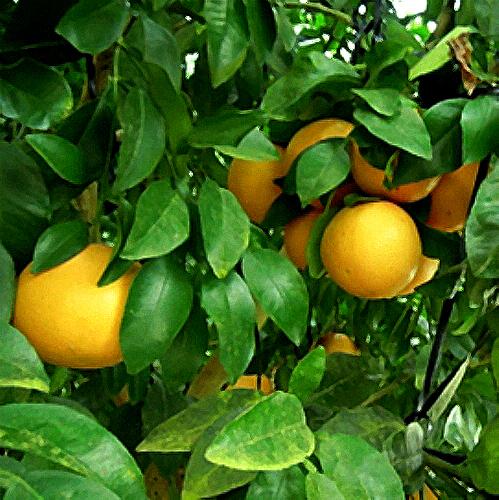 グレープフルーツの苗木販売店「花育通販」