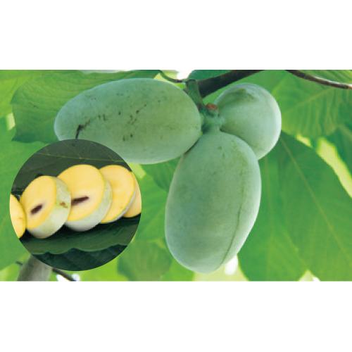 果樹苗木の販売店【花育通販】ポポー(ポーポー)苗木オーバーリースを販売