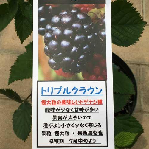 ブラックベリー「トリプルクラウン」の苗木を販売【花育通販】