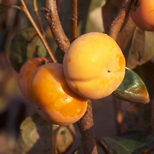 甘柿「すなみ(ジャンボ富有)」の苗木を販売【花育通販】