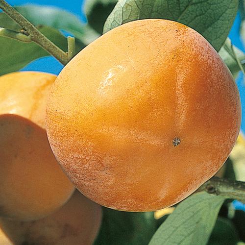 甘柿「花御所」の苗木を販売【花育通販】