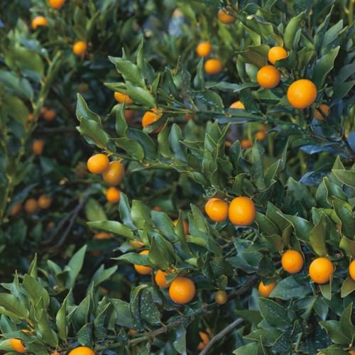 種無し金柑「ぷちまるキンカン」の苗木を販売【花育通販】