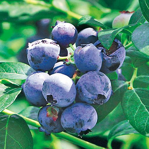 サザンハイブッシュ系ブルーベリー「オニール」の苗木を販売【花育通販】