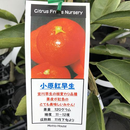 温州ミカン 小原紅早生の苗木を販売