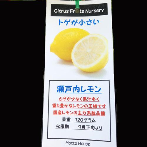 レモン「瀬戸内レモン」の苗木を販売【花育通販】