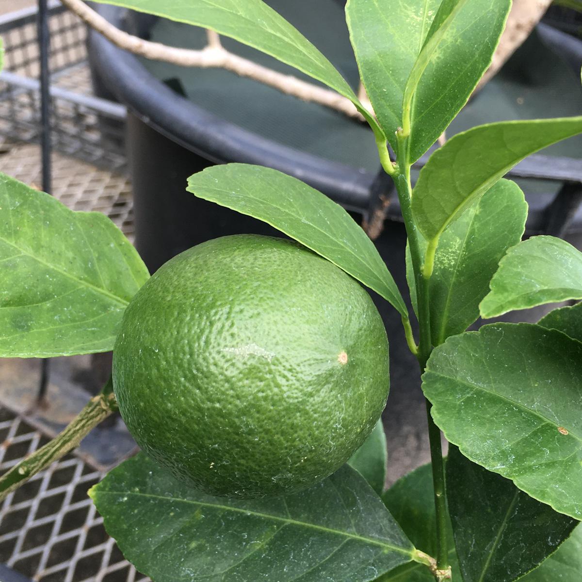 サイパンレモン苗木