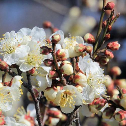 花梅苗木販売店【花育通販】冬至梅(白花一重咲き)を販売